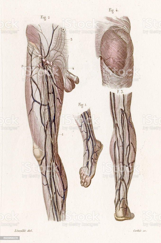 Ilustración de Lymphatics De La Anatomía De La Pierna Grabado De ...