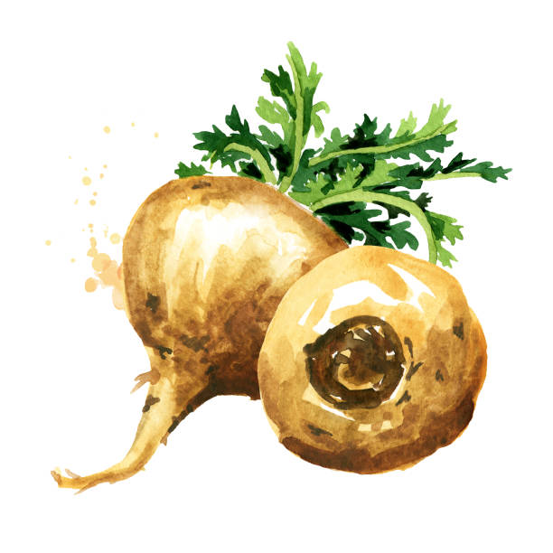 Maca root or Peruvian ginseng, Organic vegetable, superfood. Watercolor hand drawn illustration, isolated on white background Maca root or Peruvian ginseng, Organic vegetable, superfood. Watercolor hand drawn illustration, isolated on white background love potion stock illustrations