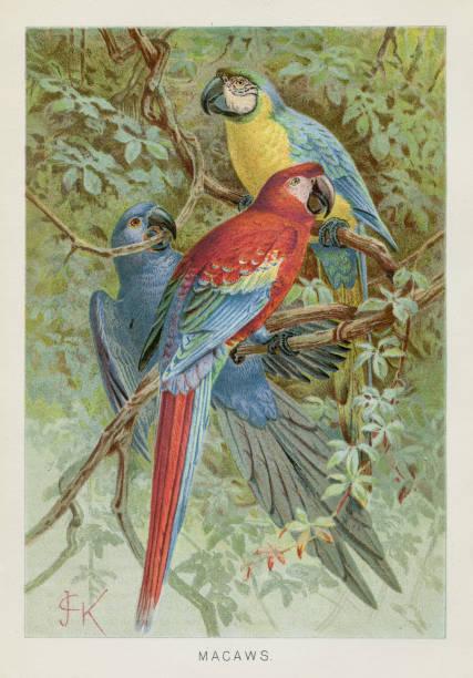ilustrações de stock, clip art, desenhos animados e ícones de macaws chromolithograph 1896 - arara