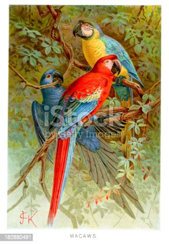 Vintage colour lithograph of  Macaws