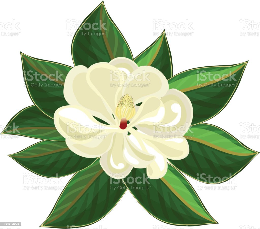 Magnolia blossom royalty-free magnolia blossom stock vector art & more images of beauty