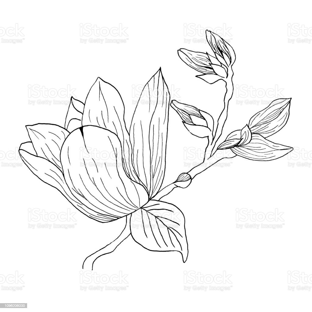 Magnolia Flowers Drawing And Sketch With Lineart On White Backgrounds Stock Vector Art More Images Of Art