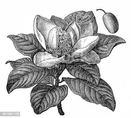 Illustration of a Southern magnolia or Magnolia grandiflora or Bull bay or Laurel magnolia or Evergreen magnolia or Large-flower magnolia or Big laurel
