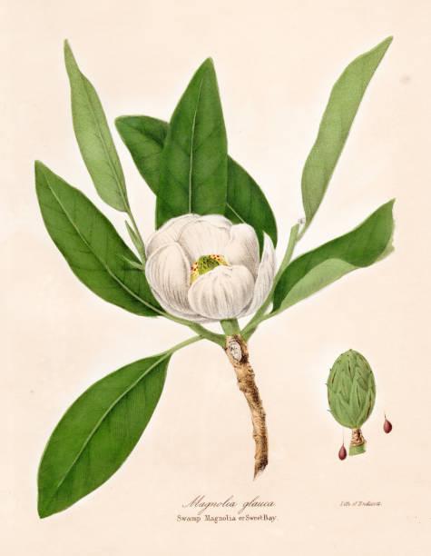 Magnolia plant botanical engraving 1843 vector art illustration