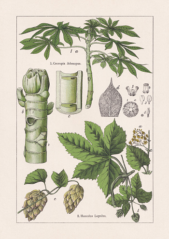 Magnoliids, Ambay pumpwood and Hop, chromolithograph, published in 1895
