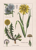 Magnoliids, Asteraceae: 1) Common chicory (Cichorium intybus), b-achene; 2) Common dandelion (Taraxacum officinale), b-ripe fruits; 3) Meadow salsify (Tragopogon pratensis, or Tragopogon orientalis), a-stem with leaves and a blossom, b-blossom with an achene. Chromolithograph, published in 1895.