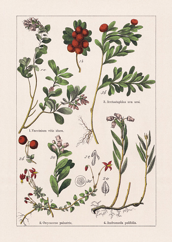 Magnoliids, Asterids: 1) Lingonberry (Vaccinium vitis-idaea), a-branch blossoms and with leaves, b-berries; 2) Cranberry (Oxycoccos palustris), b-berries, c-leaf; 3) Bearberry, or Kinnikinnick (Arctostaphylos uva-ursi), b-branch with berries and leaves, c-anther, d-berry (cross section); 4) Bog-rosemary (Andromeda polifolia). Chromolithograph, published in 1895.