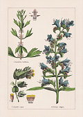 istock Magnoliids, Asterids, chromolithograph, published in 1895 1270659761