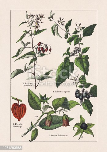 istock Magnoliids, Asterids, chromolithograph, published in 1895 1271293568