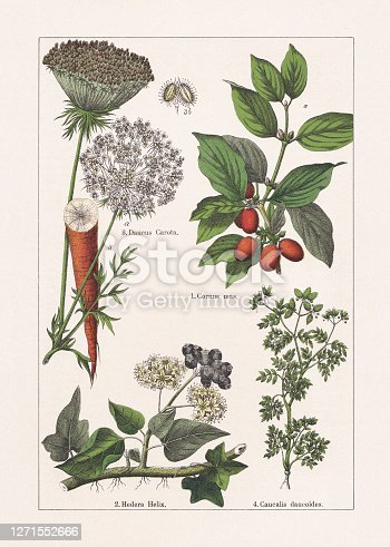 istock Magnoliids, Asterids, chromolithograph, published in 1895 1271552666