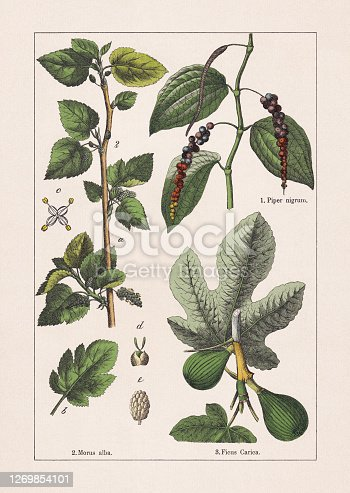 Magnoliids: 1) Black pepper (Piper nigrum); 2) White mulberry (Morus alba), a-flowering branch, b-leaf, c-male blossom, d-female blossom, e-berry; 3) Fig (Ficus carica). Chromolithograph, published in 1895.