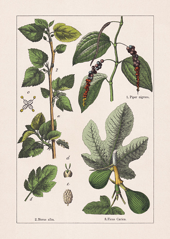 Magnoliids: Black pepper, Mulberry and Fig, chromolithograph, published in 1895