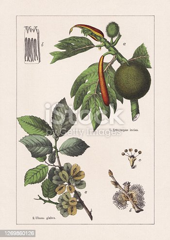 istock Magnoliids, Breadfruit and Wych elm, chromolithograph, published in 1895 1269860126