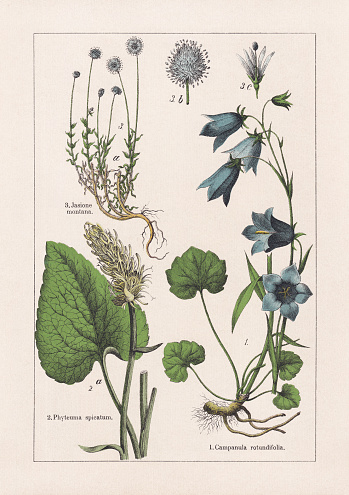 Magnoliids, Campanulaceae: 1) Harebell (Campanula rotundifolia); 2) Spiked rampion (Phyteuma spicatum); 3) Sheep's-bit (Jasione montana), b-blossom, c-stigma with anther (detail). Chromolithograph, published in 1895.