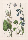 istock Magnoliids, Campanulaceae, chromolithograph, published in 1895 1270203772