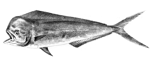 Mahi Dolphin fish engraving 1842