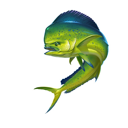Mahi mahi or dolphin dorado fish on white.