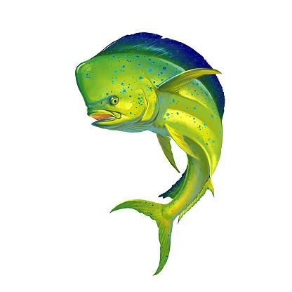 Mahi mahi or dolphin fish on white.