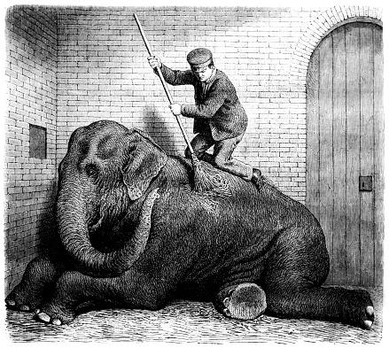 Mahout washing adult elephant with brush