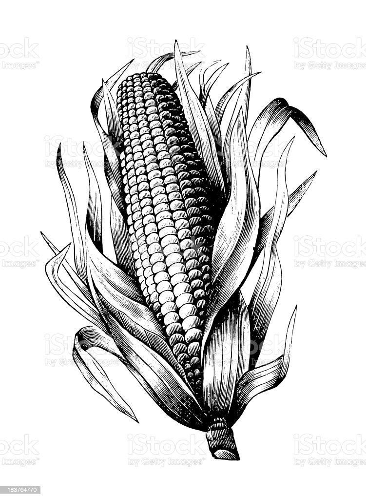 De Milho - Royalty-free Agricultura Ilustração de stock