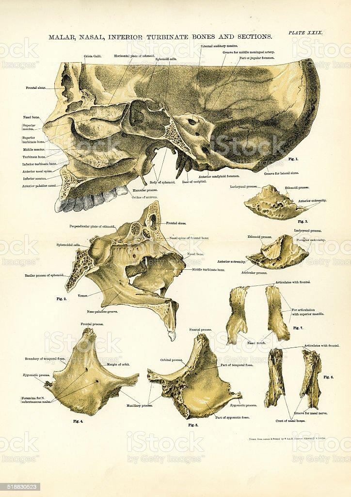 Malar Nasal Inferior Turbinate Bones vector art illustration