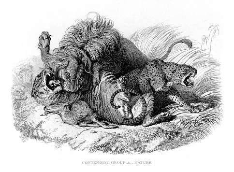 Male African lion fighting a tiger and jaguar over a kill Engraved Illustration
