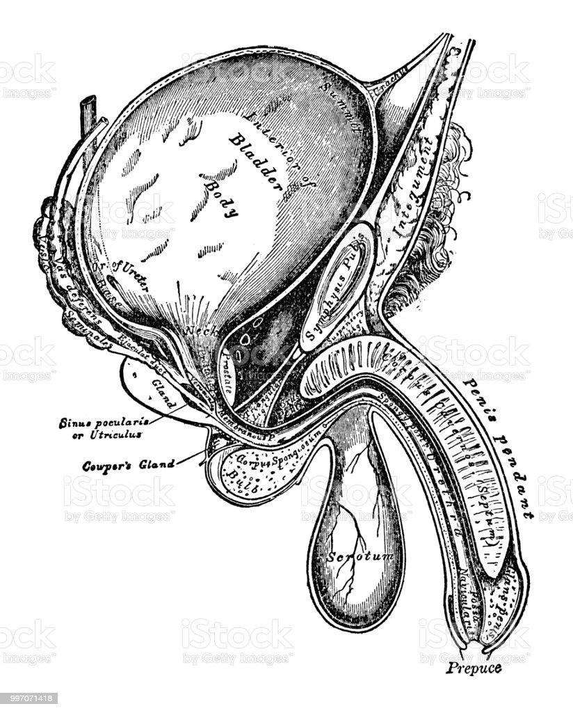 Male anatomy diagram vector art illustration