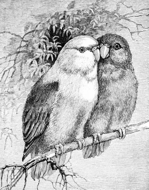 ilustrações de stock, clip art, desenhos animados e ícones de male and female parrot couple on a branch - bills couple