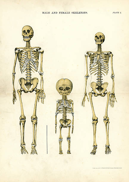 Male and Female Skeletons Victorian print of Male and Female Skeletons, 19th Century medical diagram stock illustrations