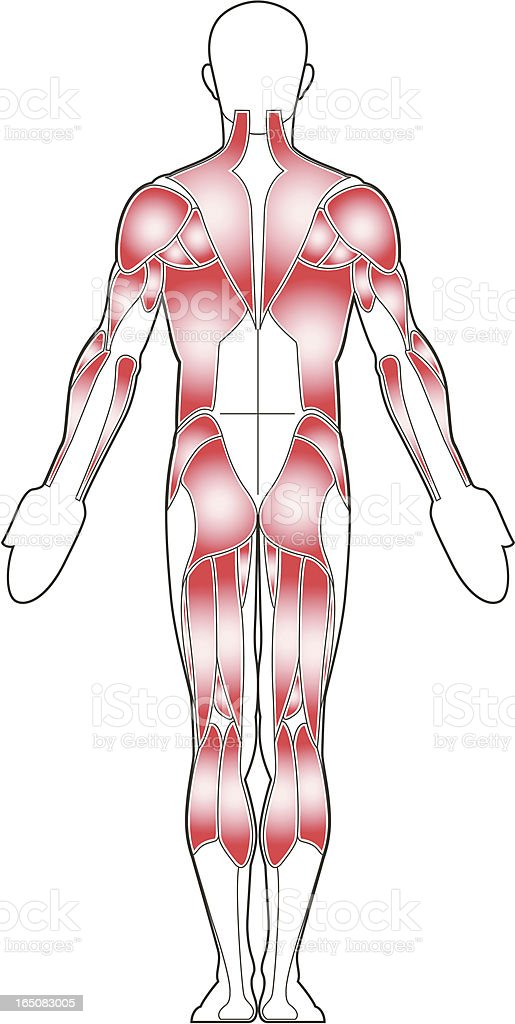 Male body, back view royalty-free stock vector art