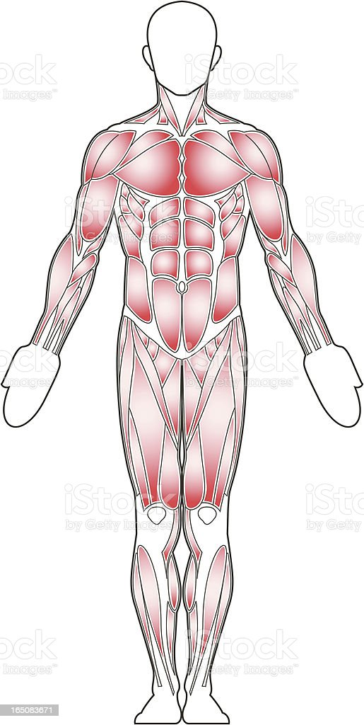 Male body, front view royalty-free stock vector art
