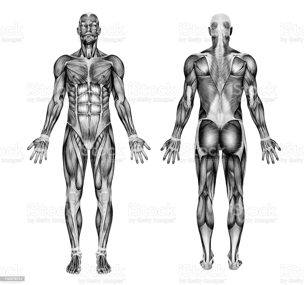 Male Muscles Pencil Drawing Style Stock Illustration Download Image Now Istock