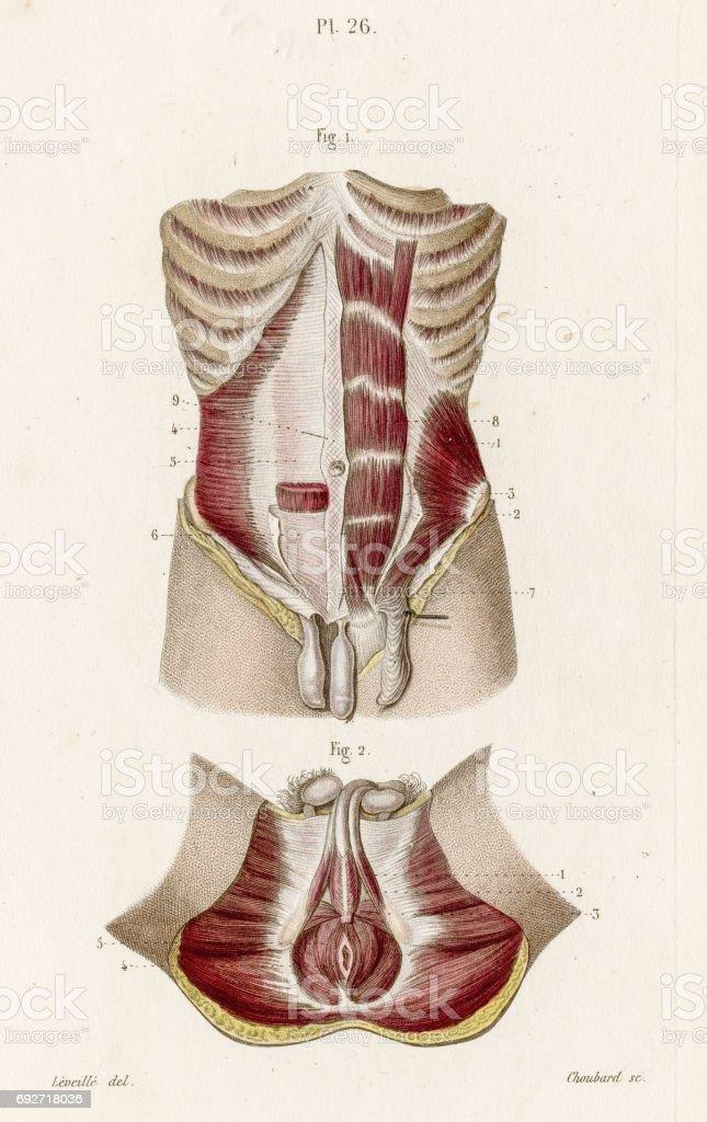 Anatomie Der Männlichen Perineum 1886 Gravur Stock Vektor Art und ...