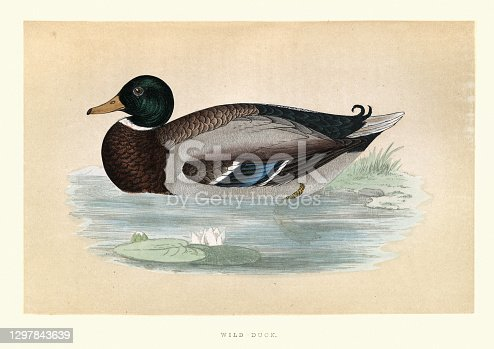 Vintage illustration of Mallard (Anas platyrhynchos) is a dabbling duck, wild duck. Wildlife, bird art print