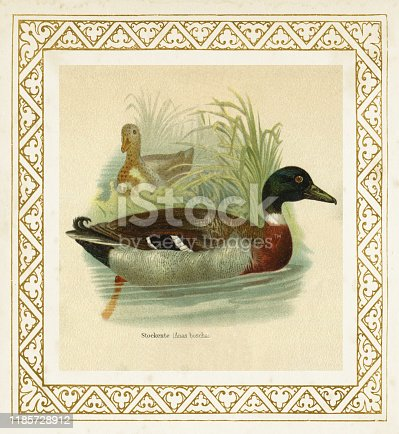 The mallard ( Anas platyrhynchos or boschas ) is a dabbling duck that breeds throughout the temperate and subtropical Americas, Eurasia, and North Africa Original edition from my own archives Source :