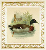 The mallard ( Anas platyrhynchos or boschas ) is a dabbling duck that breeds throughout the temperate and subtropical Americas, Eurasia, and North Africa\nOriginal edition from my own archives\nSource : \