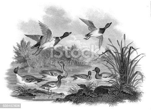 istock Mallard Ducks engraving 1812 535452606