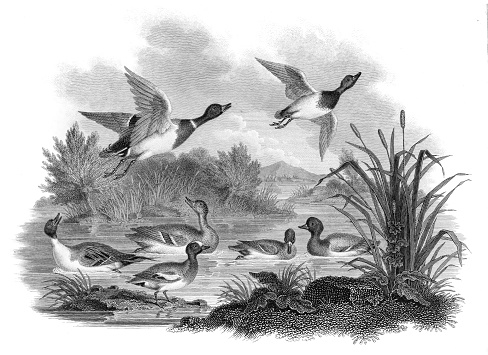 Mallard Ducks engraving 1812