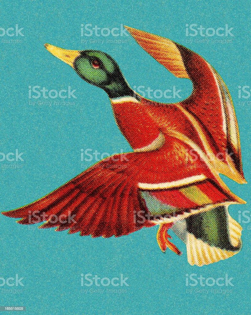 Mallard in Flight royalty-free mallard in flight stock vector art & more images of animal