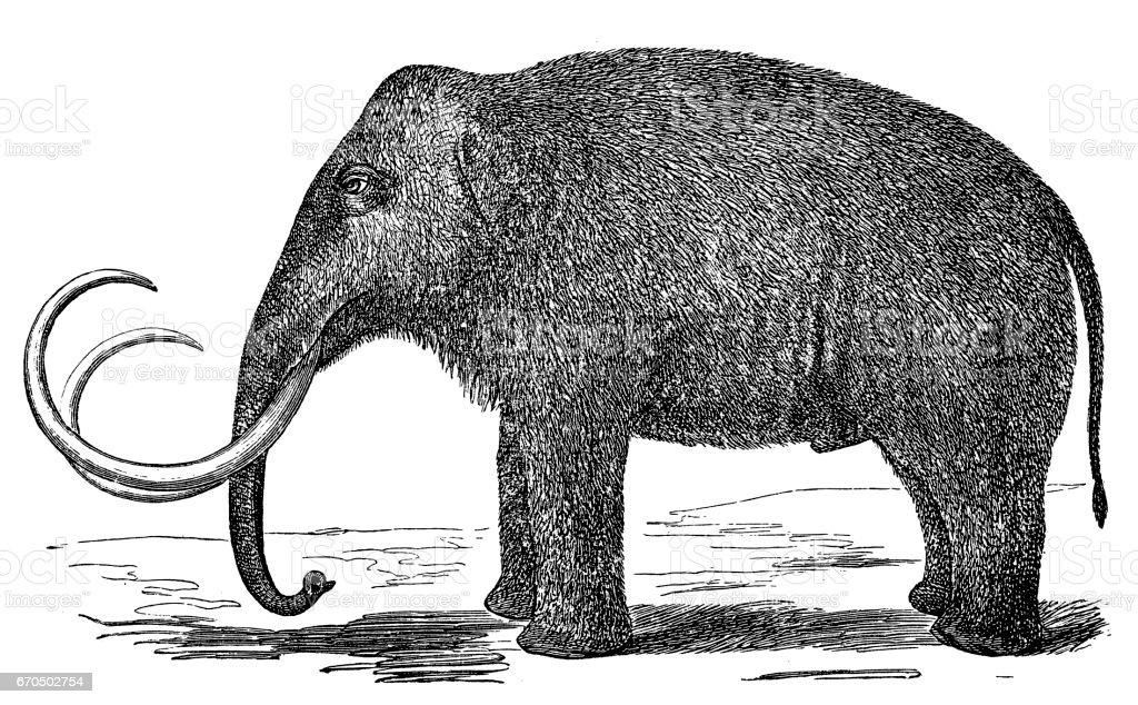 Mammoth (elephas primigenius) vector art illustration