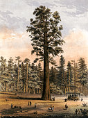 Vintage illustration shows sightseers looking at the giant sequoia trees at Mammoth Tree Grove, California.