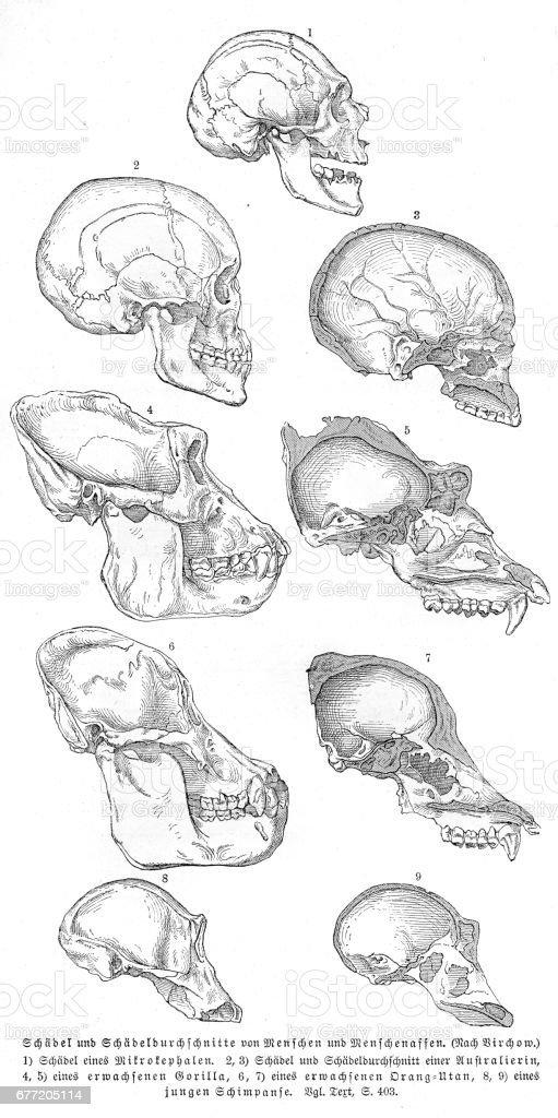 Man And Apes Anatomy Engraving 1857 Stock Vector Art & More Images ...