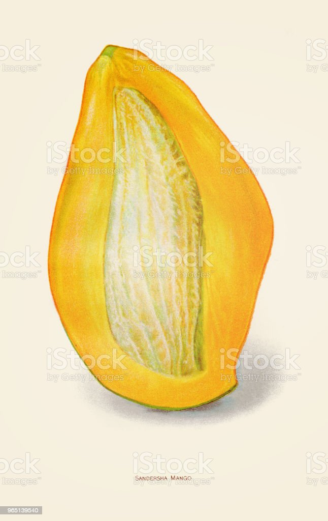 Mango fruit illustration 1892 royalty-free mango fruit illustration 1892 stock vector art & more images of 19th century style