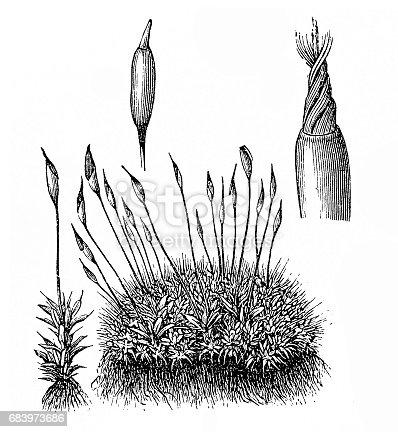 Illustration of a Marchantia polymorpha - Common Liverwort or Umbrella Liverwort
