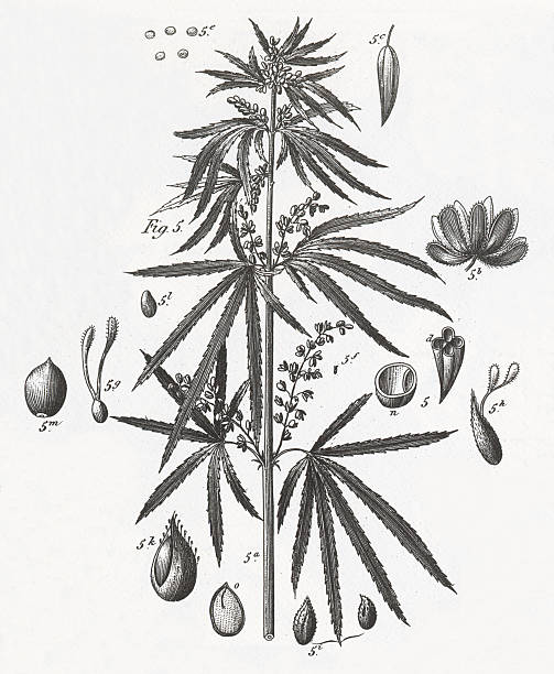 Marijuana Plant Engraving vector art illustration