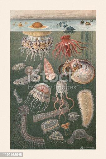 Marine fauna: 1) Mediterranean jellyfish (Cotylorhiza tuberculata); 2) Sea raft (Velella velella); 3) Portuguese man o' war (Physalia physalis); 4) Sea cucumber (Pelagothuria natatrix); 5) Salp (Salpa zonaria, single animal of the chain); 6) Carinaria pelagic sea snail (Carinaria mediterranea); 7) Comb jelly (Beroe cucumis); 8) Greater argonaut (Argonauta argo); 9) Eunereis longissima (or Alciopa cantrainii, Annelida); 10) Helmet jellyfish (Periphylla periphylla); 11) Box jellyfish (Cubozoa); 12) Pyrosome; 13) Stephanophyes superba; 14) Salp (Salpa maxima-africana); 15) Dipleurosoma hemisphaericum; 16) Phronima sedentaria; 17) Sea butterfly (Cavolinia tridentata); 18) Gregarious jellyfish (Clytia gregaria); 19) Northern comb jelly (Bolinopsis infundibulum). Chromolithograph after a drawing by Comingio Merculiano (Italian painter, 1845 - 1915), published in 1899.
