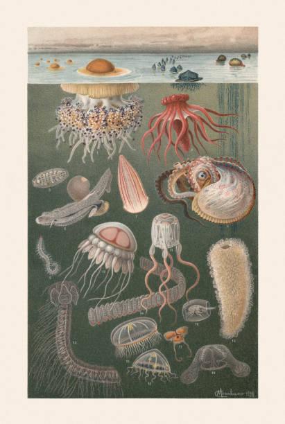 Marine fauna, chromolithograph, published in 1899 Marine fauna: 1) Mediterranean jellyfish (Cotylorhiza tuberculata); 2) Sea raft (Velella velella); 3) Portuguese man o' war (Physalia physalis); 4) Sea cucumber (Pelagothuria natatrix); 5) Salp (Salpa zonaria, single animal of the chain); 6) Carinaria pelagic sea snail (Carinaria mediterranea); 7) Comb jelly (Beroe cucumis); 8) Greater argonaut (Argonauta argo); 9) Eunereis longissima (or Alciopa cantrainii, Annelida); 10) Helmet jellyfish (Periphylla periphylla); 11) Box jellyfish (Cubozoa); 12) Pyrosome; 13) Stephanophyes superba; 14) Salp (Salpa maxima-africana); 15) Dipleurosoma hemisphaericum; 16) Phronima sedentaria; 17) Sea butterfly (Cavolinia tridentata); 18) Gregarious jellyfish (Clytia gregaria); 19) Northern comb jelly (Bolinopsis infundibulum). Chromolithograph after a drawing by Comingio Merculiano (Italian painter, 1845 - 1915), published in 1899. mollusk stock illustrations