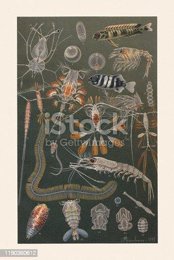 Marine fauna: 1) Panulirus, larva; 2) European anchovy (Engraulis encrasicolus), egg; 3) Clupea, egg with embryo; 4) Silver scabbardfish (Lepidopus caudatus), egg with embrio; 5) Coryphaena pelagica; 6) Pilot fish (Naucrates ductor); 7) American lobster (Homarus americanus), larva; 8) Setella gracilis, female; 9) Calocalanus plumulosus, female; 10) Copilia vitrea, female; 11) Calocalanus pavo, female; 12) Lepadid, larva; 13) Collozoum inerme; 14) Marine copepod (Oithona plumifera); 15) Oikopleura dioica; 16) Northern krill (Meganyctiphanes norvegica); 17) Thalassicolla nucleata; 18) Arrow worm (Sagitta minima); 19) Sapphirina ovatolanceolata; 20) Sapphirina auronitens; 21) Synapta digitata, larva; 22) Synapta digitata, pupa; 23) Acorn worm (Enteropneusta), larva. Chromolithograph after a drawing by Comingio Merculiano (Italian painter, 1845 - 1915), published in 1899.