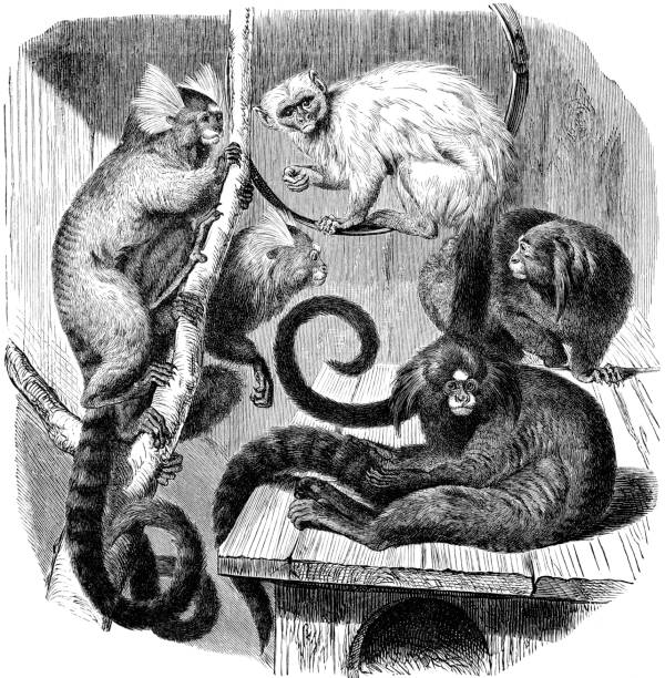 Marmoset from left to right Common Marmoset, Silvery Marmoset, black-tufted Marmoset marmoset stock illustrations