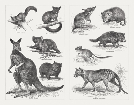 Marsupials, wood engravings, published in 1897